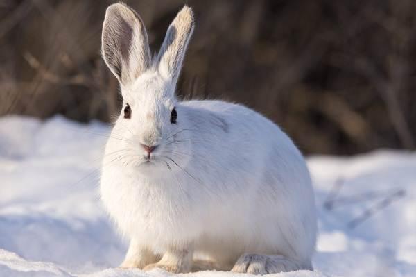 Заяц-беляк-животное-Описание-особенности-образ-жизни-и-среда-обитания-зайца-беляка-2