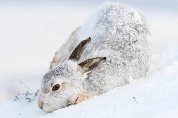 Заяц-беляк-животное-Описание-особенности-образ-жизни-и-среда-обитания-зайца-беляка-4
