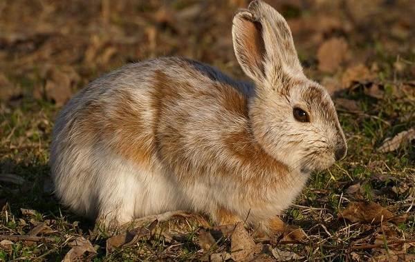 Заяц-беляк-животное-Описание-особенности-образ-жизни-и-среда-обитания-зайца-беляка-5