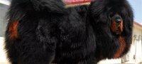 Тибетский мастиф: описание породы, содержание и уход