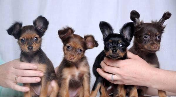 Породистые щенки имеют клеймо и метрику