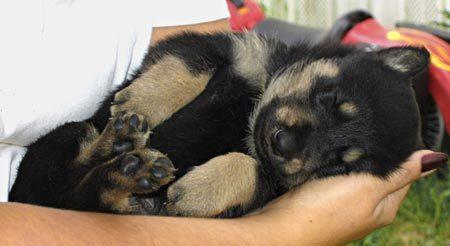 Щенок немецкой овчарки спит