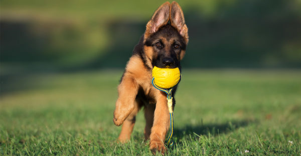 Овчарка приносит мяч