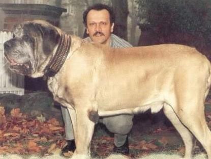 Айкама Зорба - самая крупная собака