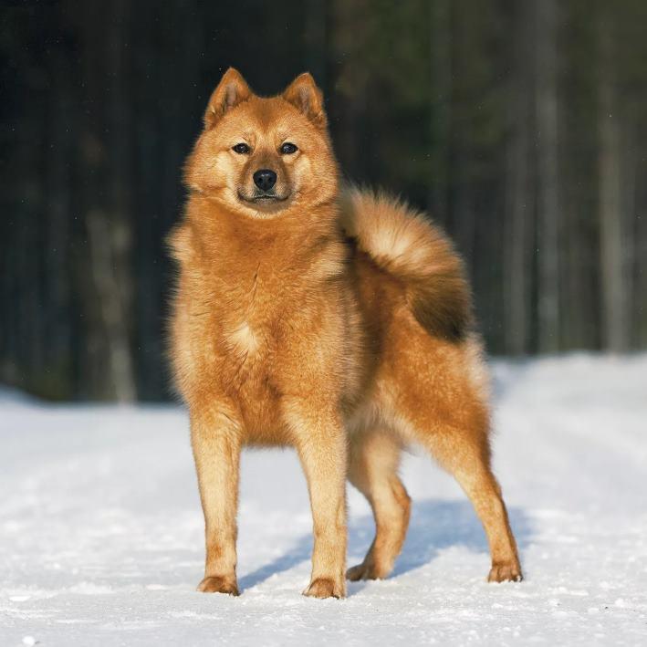 Карело-финская охотничья лайка (Карелка)