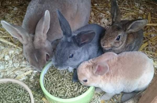 Кролики карликовые Рексы