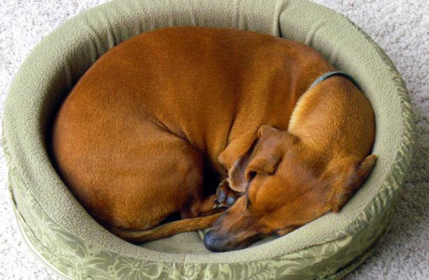 ложная беременность собаки