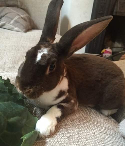Карликовый Рекс - декоративный кролик