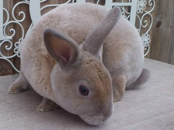 Кролик декоративный Карликовый Рекс