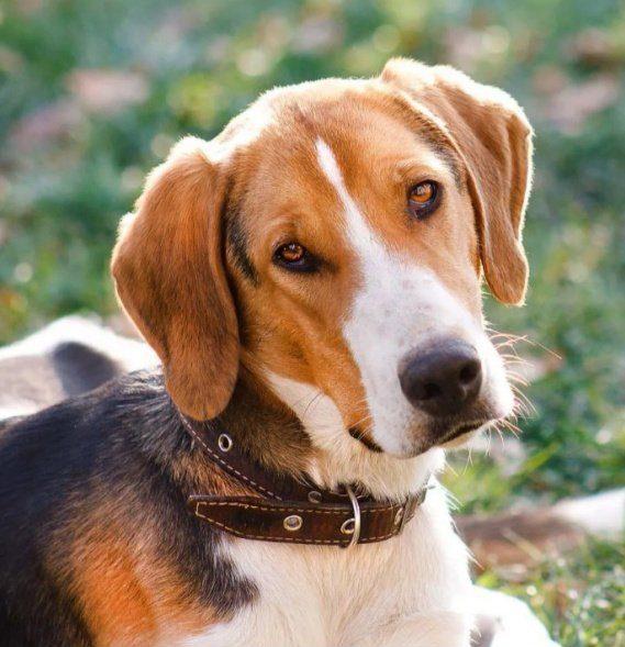 Русская пегая гончая - первоклассная охотничья собака