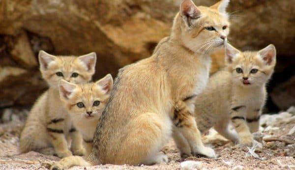 Барханный кот и их враги