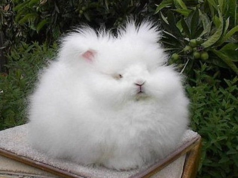 Английские ангорские кролики миниатюрны - до 3 кг
