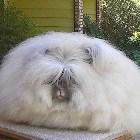 содержание ангорских кроликов
