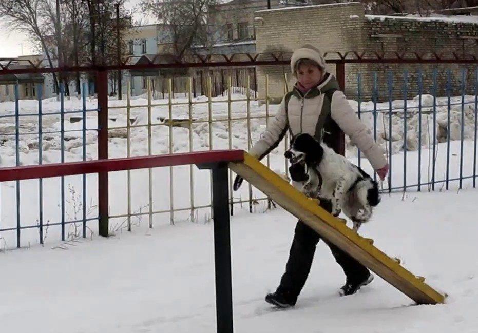 Русский охотничий спаниель хорошо поддается дрессировке