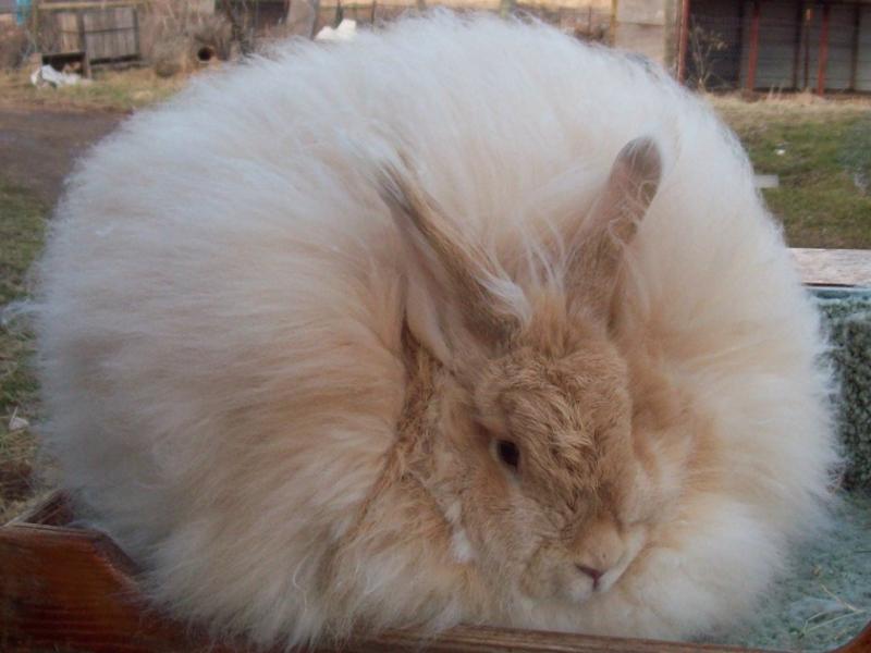 Кролики французской разновидности могут быть двуцветными