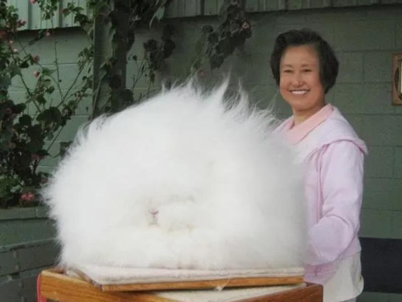 Гигантские ангорские кролики имеют вес до 6 кг