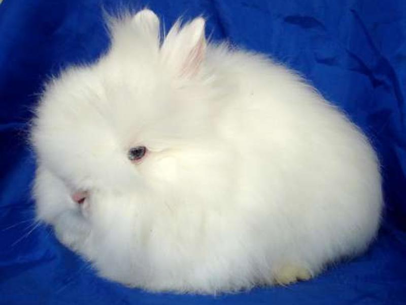 Карликовый ангорский кролик может иметь вес до 2.5 кг