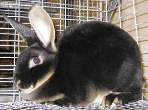 Уход за кроликом рекс - кормление