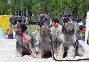 Порода собак Шнауцер