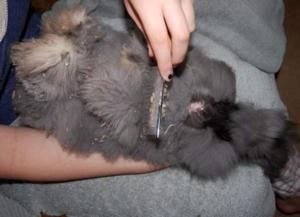 Шерсть ангорских кроликов требует регулярного вычесывания и стрижки