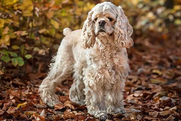 Русский-кокер-спаниель-собака-Описание-особенности-уход-и-цена-породы-7