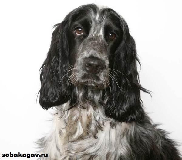 Русский-кокер-спаниель-собака-Описание-уход-и-цена-русского-кокер-спаниеля-7