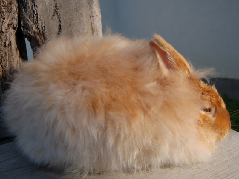 Кролики сатиновой разновидности обладают шерстью с характерным блеском