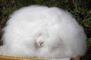 Внешний вид ангорского кролика
