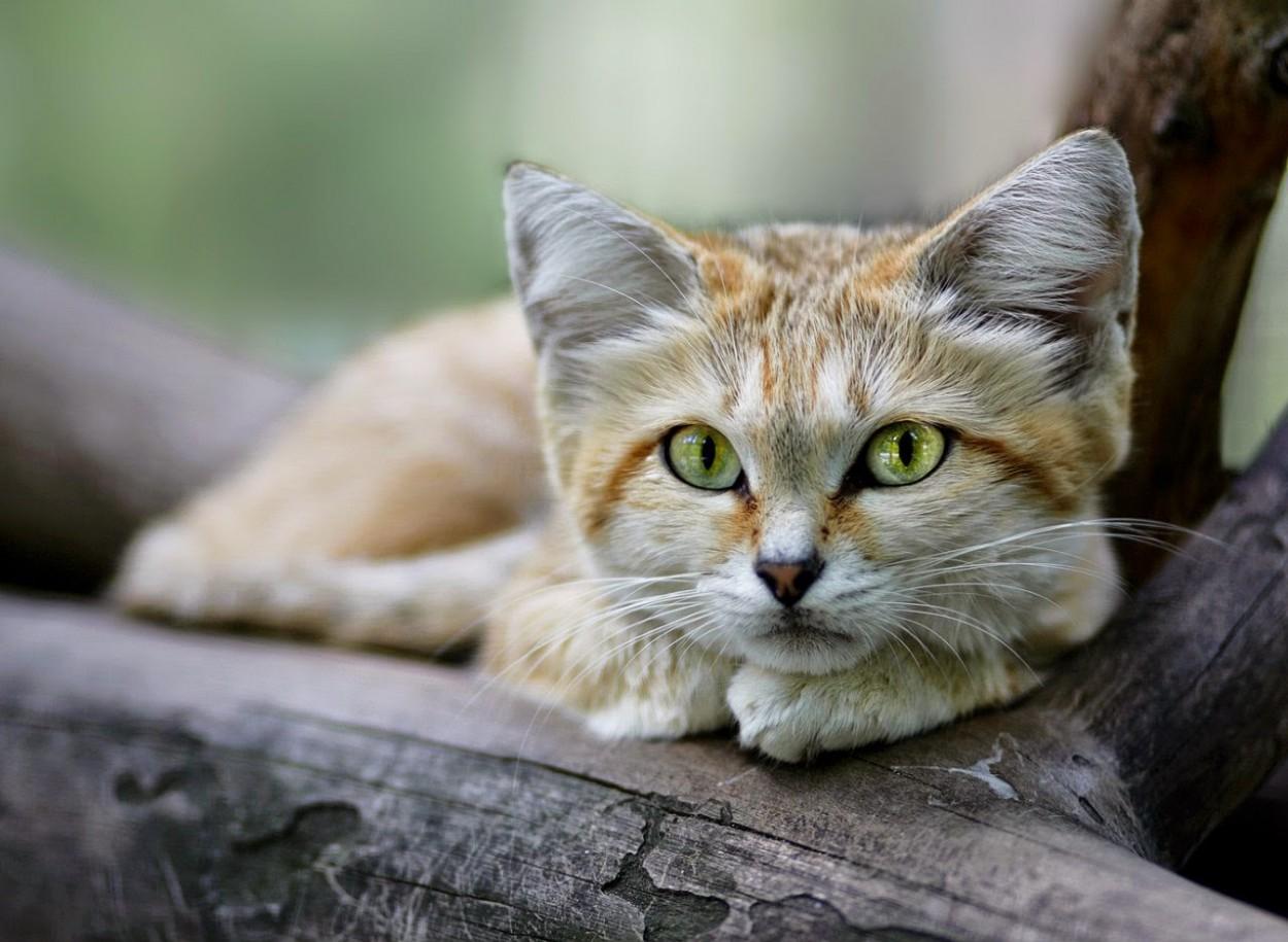 зеленоглазый барханный кот на дереве