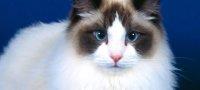Кошки породы рэгдолл: описание, особенности характера и нюансы ухода в домашних условиях