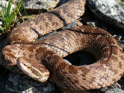 Водяной щитомордник опасна ли змея для человека