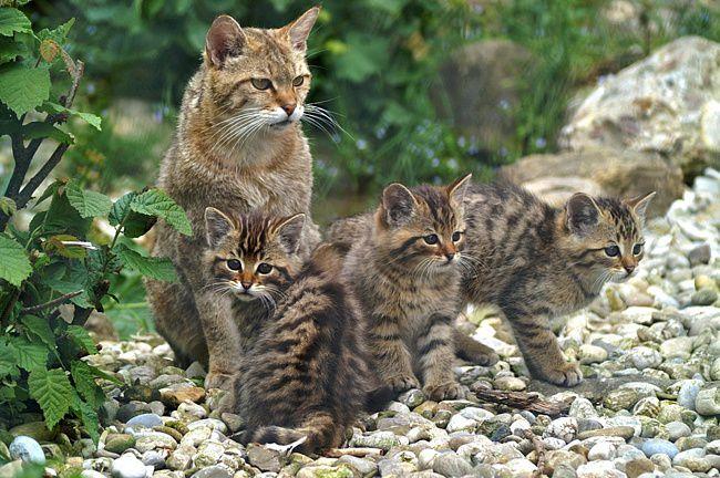 Болотная рысь с котятами