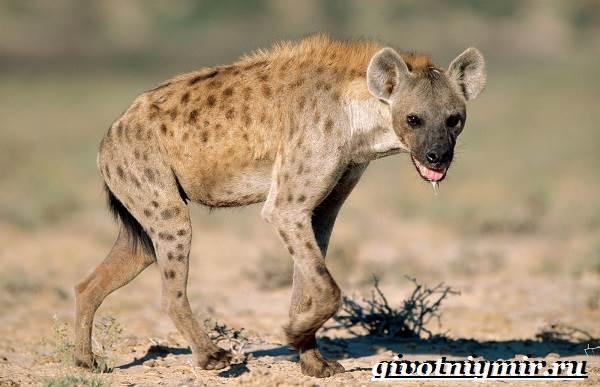 Гиена-животное-Образ-жизни-и-среда-обитания-гиены-1