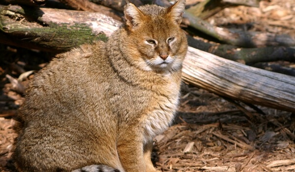 Фото: Камышовый кот в природе