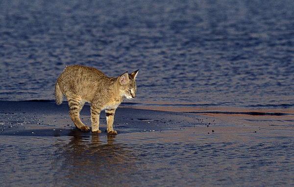 Камышовый кот в воде