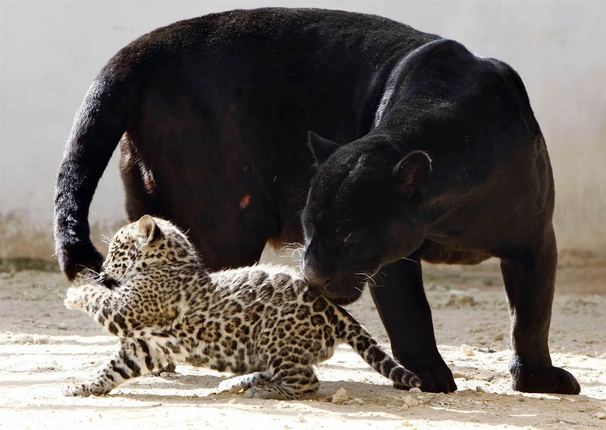 Чёрный ягуар с котёнком