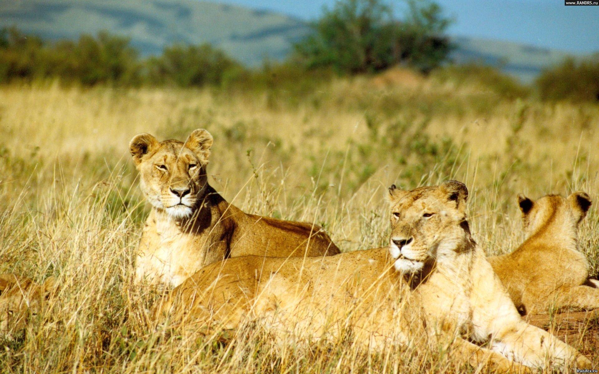 Львицы в траве
