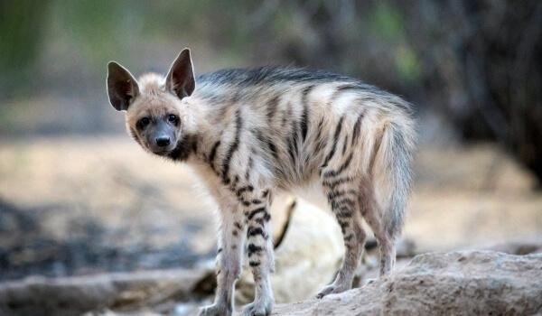 Фото: Детеныш полосатой гиены