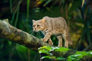 Особенности пород диких кошек