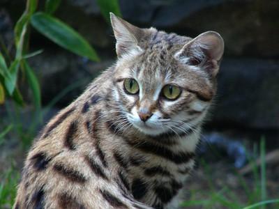 Породы диких кошек: особенности, виды и фото