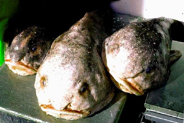 особенности рыбы-капли