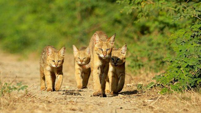 Самка хауса с тремя котятами
