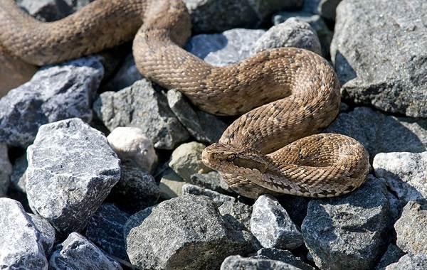 Щитомордник-змея-Описание-особенности-виды-образ-жизни-и-среда-обитания-щитомордника-13
