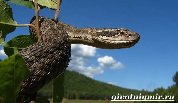 Щитомордник-змея-Образ-жизни-и-среда-обитания-щитомордника-2