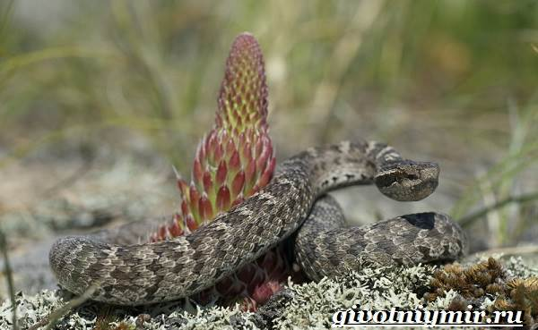 Щитомордник-змея-Образ-жизни-и-среда-обитания-щитомордника-3