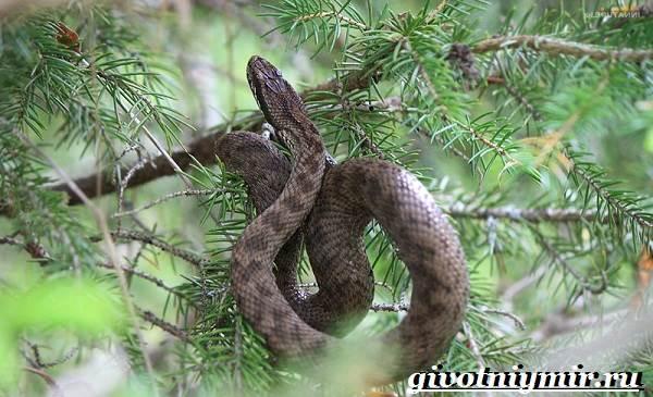 Щитомордник-змея-Образ-жизни-и-среда-обитания-щитомордника-4