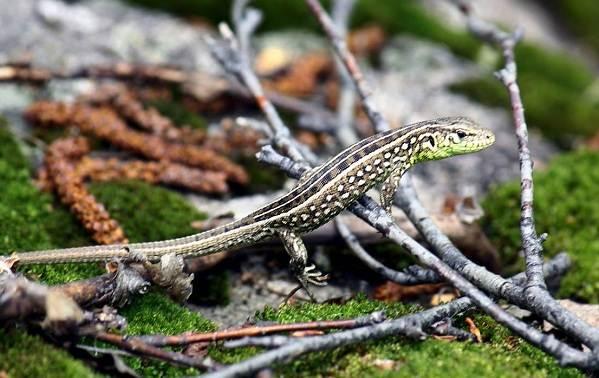Виды-ящериц-Описание-особенности-среда-обитания-и-названия-видов-ящериц-20
