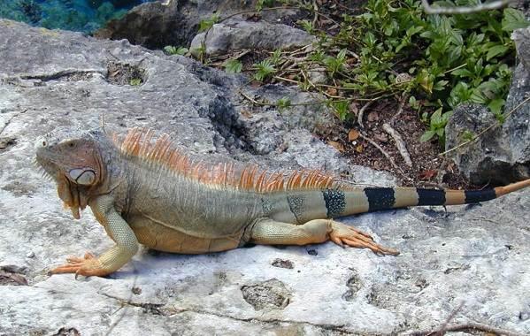 Виды-ящериц-Описание-особенности-среда-обитания-и-названия-видов-ящериц-32