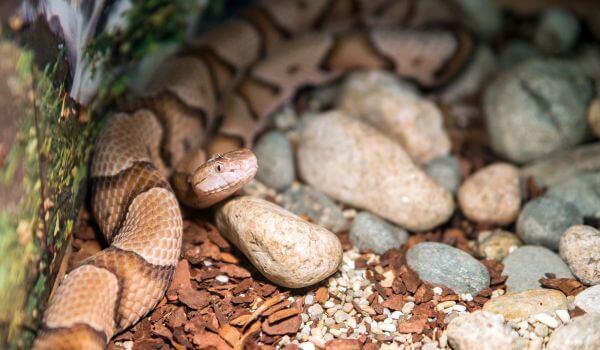 Фото: Змея щитомордник в России