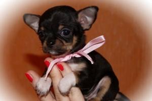 маленькая собачка в дар